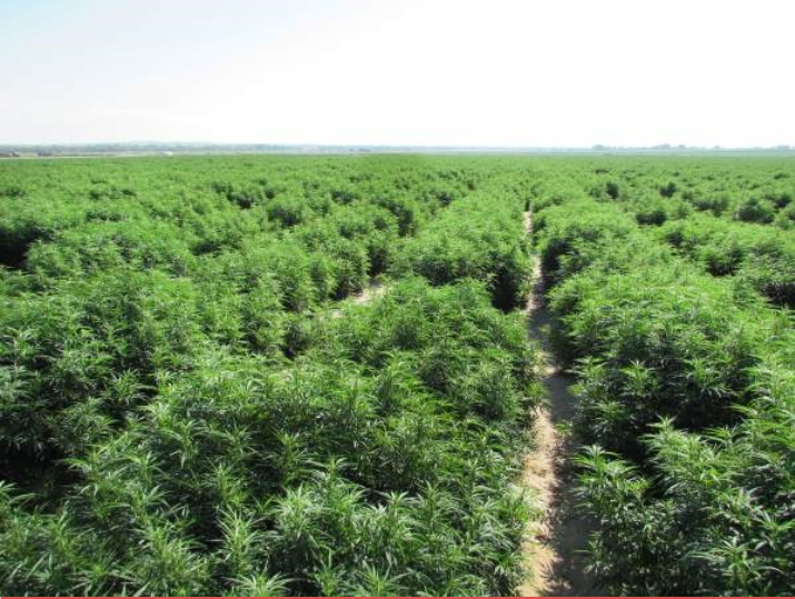 2017-10-27 Man arrested for cultivating large weed farm(1)